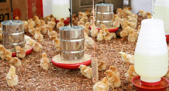 Prefeitura de Macapá investe em programa de fomento à produção de aves no município